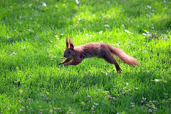 Белка прыгает по траве