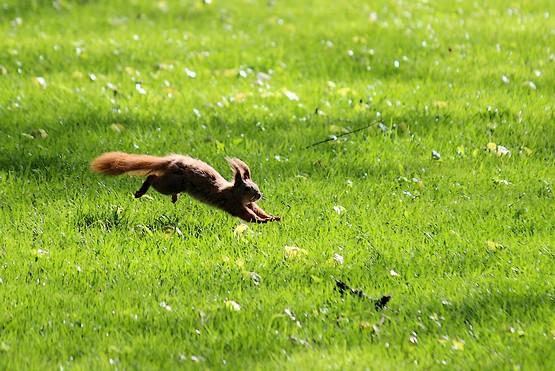 Белка в полете над зелёной травой