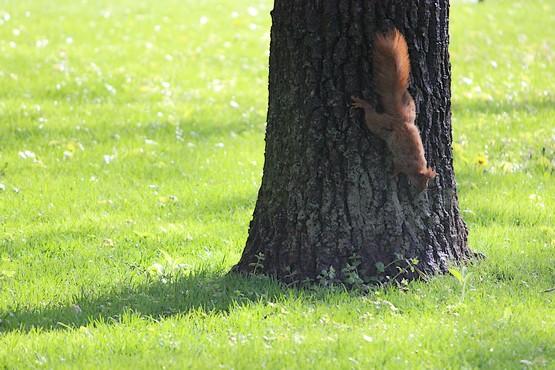 Белочка на дереве вниз головой