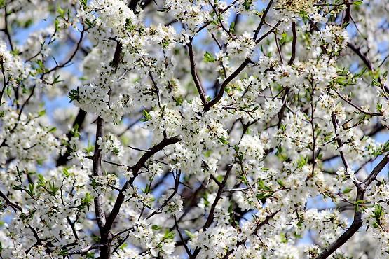Дерево в цветах