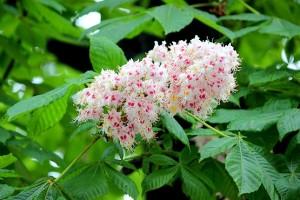 Каштан цветёт в мае