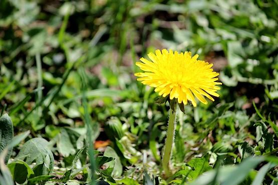 Одуванчик цветёт в мае