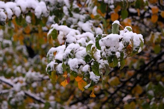 Дикая груша в снегу октября