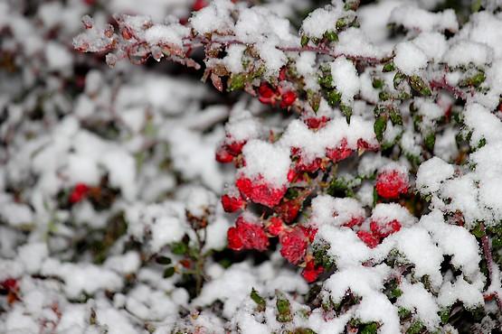 Куст роз в снегу