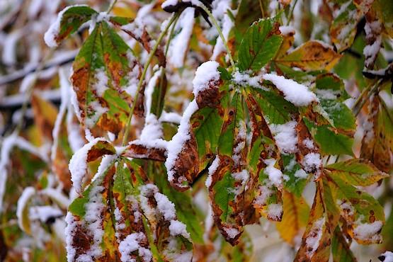 Листья каштана в снегу октября