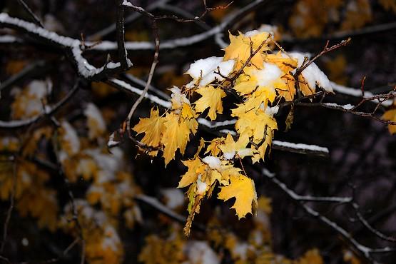 Листья клена в снегу