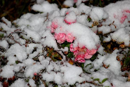 Розовые розы в снегу