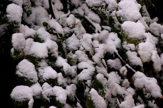 Зеленые листья под снегом