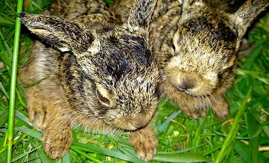Два зайчонка на траве