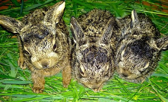 Три зайчонка