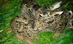 Зайчата позируют на травке