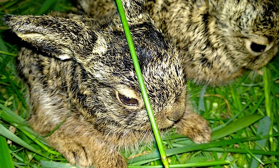 Зайчонок спрятался за травинкой