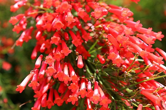 Красные цветы Средиземноморья