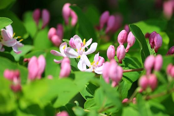Розовые цветы жимолости