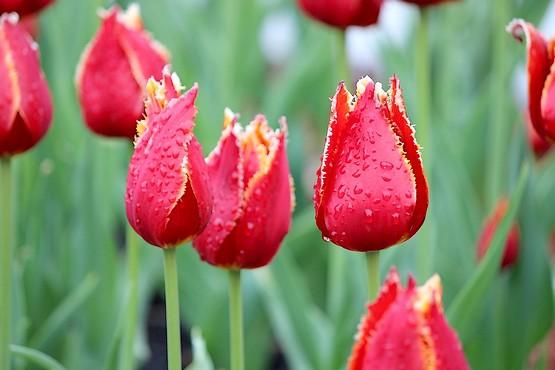 Тюльпаны в каплях