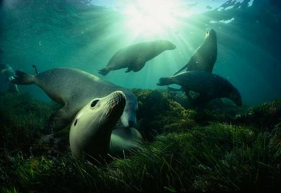 Игра морских львов