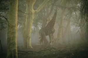 Жираф, идущий в туманном лесу