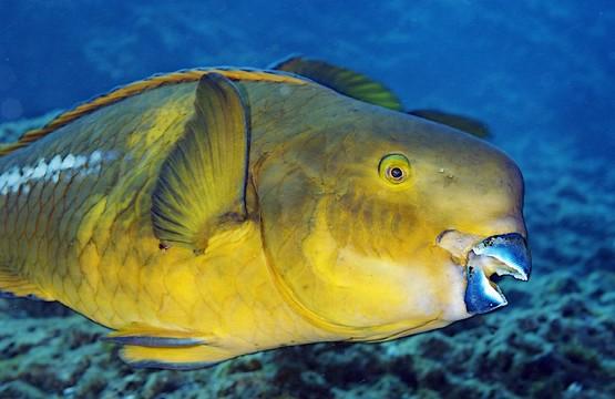 Клюв рыбы попугая