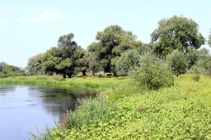Лошади в тени деревьев у реки