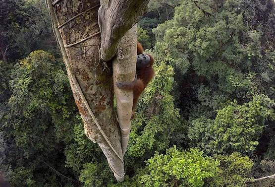 Орангутан лезет ввысь