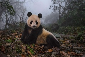 Панда позирует как модель