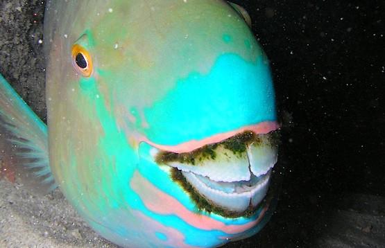 Зубы рыбы попугая