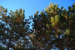 Запах хвойного леса