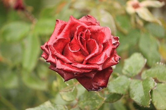 Влажная роза