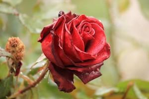 Влажные лепестки розы