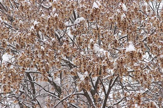 Клён в снегу