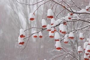 Красные грозди рябины в снежной шапке