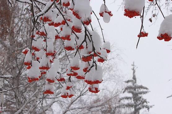 Красные грозди рябины в снежных шапках