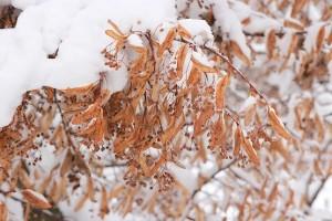 Липу присыпало снегом в январе 2019-го