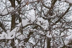 Орех в январском снегу