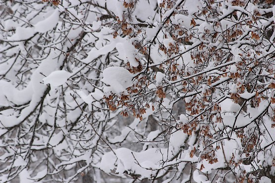 Ветви деревьев в снегу смотрятся красиво