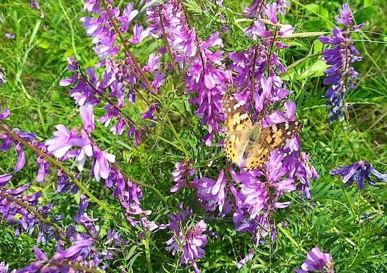 Бабочка украсила собой цветы в степи