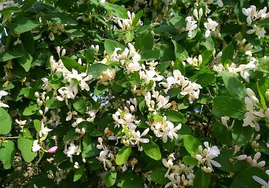 Белые цветы жимолости