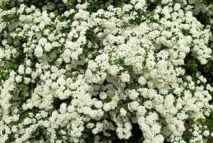 Белоснежные цветы кустарника