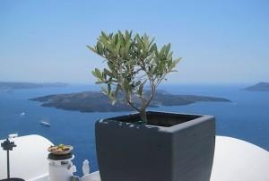 Оливковое дерево на острове Санторини напротив вулкана