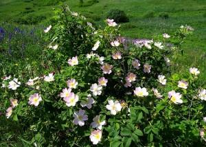 Шиповник цветёт в степи