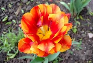 Тюльпан распустился