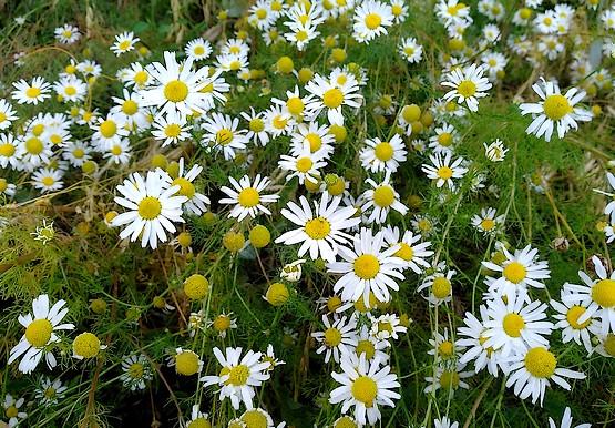 Белоснежные ромашки цветут