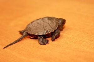 Черепаха пытается убежать