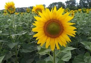 Цветущий подсолнух в поле