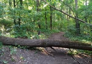 Дерево, поваленное ураганом