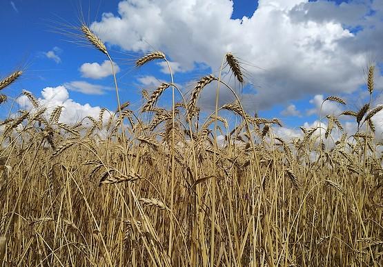 Колосья пшеницы на фоне неба