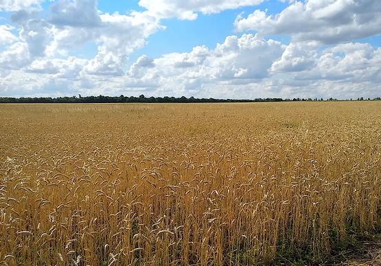Поле колосящейся пшеницы