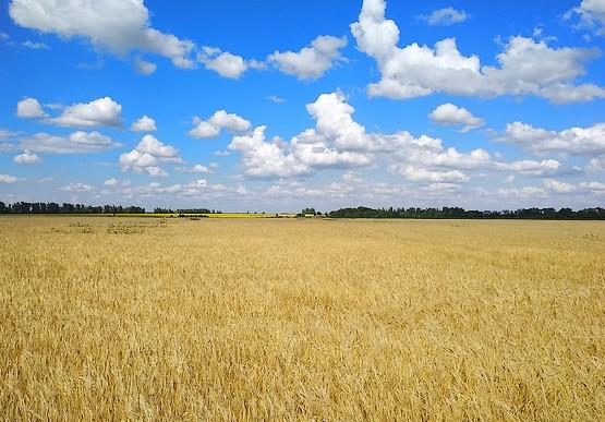 Поле пшеницы на фоне неба