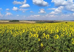 Поля пшеницы сменяются полями с подсолнухом