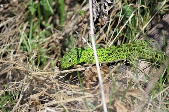 Ярко зелёная ящерица